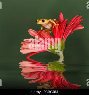 Xanthic Red-eyed Tree frog and reflection, Agalychnis callidryas - Stock Photo