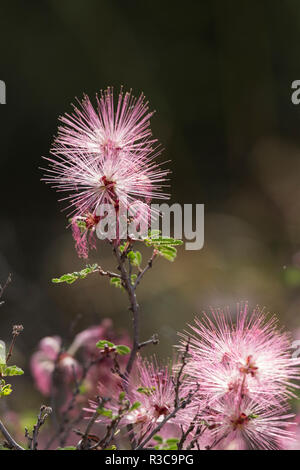 Fairy Duster, (Calliandra eriophylla), glows in the backlight of morning sun, Arizona. - Stock Photo