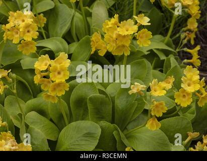A bear's ear, Primula lutea, (split off from Primula auricula), south-east Europe. - Stock Photo