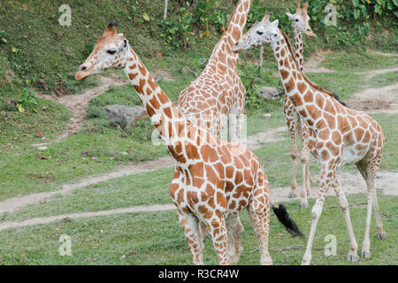 Giraffe out in safari jungle - Stock Photo