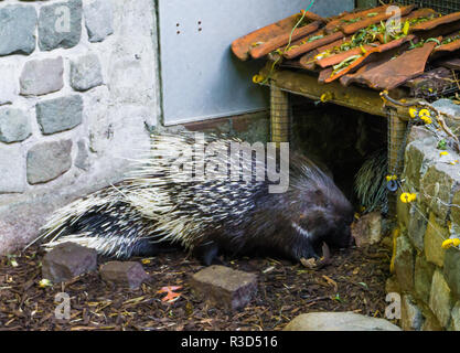 crested porcupine standing in the sand a wild rodent from africa - Stock Photo
