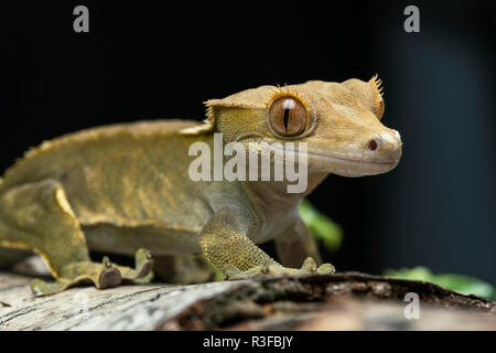 This crested gecko, native to New Caledonia, only has three populations left in the wild and is a vulnerable species. - Stock Photo