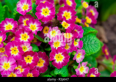 beautiful primroses,on green grass - Stock Photo