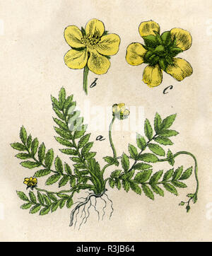 common silverweed or silver cinquefoil, - Stock Photo