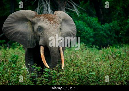 African forest elephant (Loxodonta cyclotis). Odzala-Kokoua National Park. Cuvette-Ouest Region. Republic of the Congo - Stock Photo
