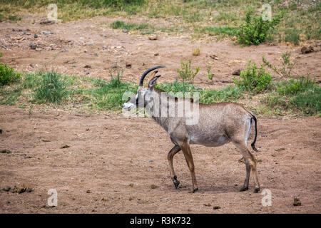Roan antelope walking in savannah in Kruger National park, South Africa ; specie Hippotragus equinus family of bovidae - Stock Photo