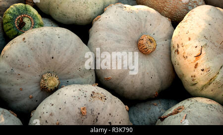 Harvest: Heap of Blue Kuri Hokkaido Pumpkin, Cucurbita maxima - Stock Photo