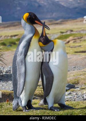 King Penguin (Aptenodytes patagonicus) rookery in Fortuna Bay. Courtship behavior. South Georgia Island - Stock Photo