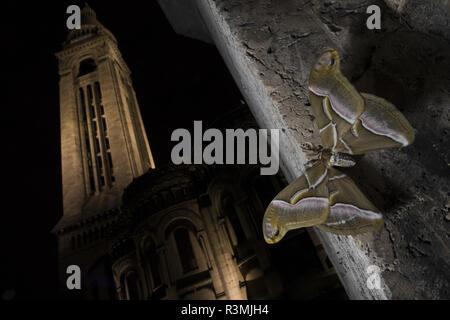 Ailanthus silkmoth (Samia cynthia) Introduced species. Sacre-c?ur, Paris, France - Stock Photo
