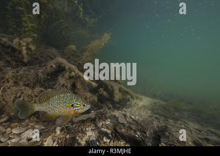 Pumpkinseed Sunfish (Lepomis gibbosus) Introduced in France, Aube, Grand Est, France - Stock Photo