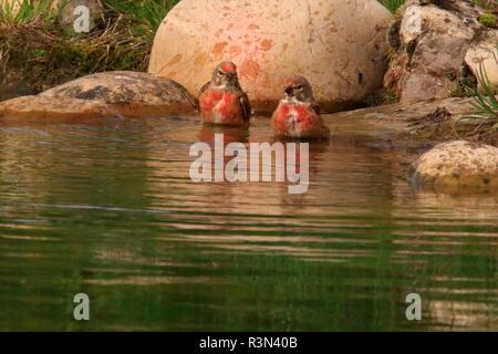 Eurasian linnet (Carduelis cannabina) bathing, France - Stock Photo