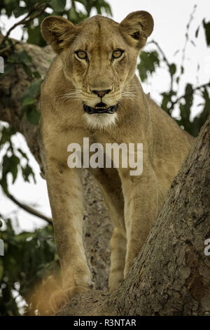 A Lioness (Panthera leo) stares intently from the treetops in Uganda. - Stock Photo