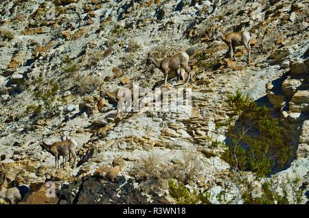 USA, California, Death Valley National Park Warm Springs Canyon, Desert Bighorn Sheep - Stock Photo