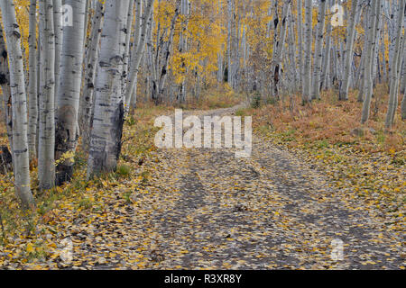 Fallen Aspen Leaves in Fall Keebler Pass, Colorado on Dirt Road. - Stock Photo