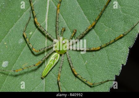 Green Lynx Spider, Peucetia viridans, male on Ashy Sunflower, Helianthus mollis, leaf - Stock Photo