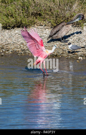 Roseate Spoonbill (Ajaia ajaja) bathing - Stock Photo