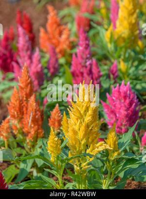 Colorful plumed cockscomb flower - Stock Photo