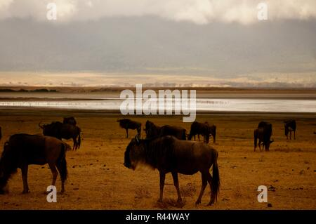 A herd of wildebeest on the Ngorongoro Crater, Africa - Stock Photo