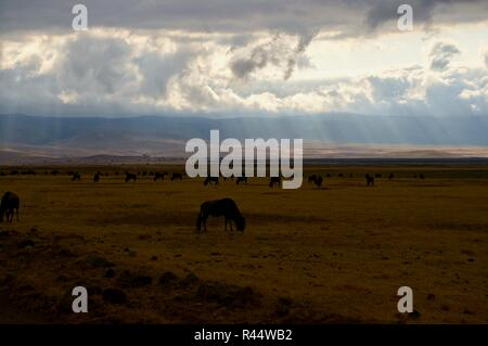 A herd of wildebeest on the Ngorongoro Crater, Africa 2 - Stock Photo