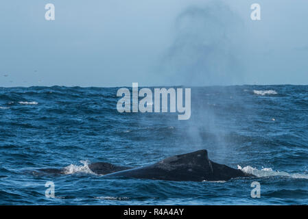 A humpback whale briefly surfaces and sends up a plume of spray in the Farallon islands national marine sanctuary off the coast of San Francisco. - Stock Photo