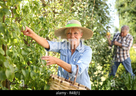 Senior woman picking pears from tree - Stock Photo