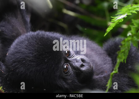 A  baby mountain gorilla (Gorilla beringei beringei) relaxes with its mother. About 1,000 mountain remain in Uganda, Rwanda and The Democtatic republi - Stock Photo