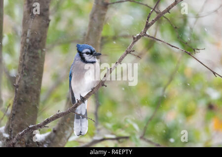 Closeup of one blue jay Cyanocitta cristata, bird perched on tree branch during autumn snowing winter snow in Virginia, snowflakes falling, green leav - Stock Photo