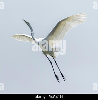 Large and spectacular Australian plumed / intermediate egret Ardea intermedia in flight  with wings outstretched against sky - Stock Photo