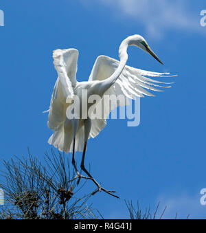 Large and spectacular Australian plumed / intermediate egret Ardea intermedia in flight  with wings outstretched against blue sky - Stock Photo