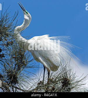 Large and spectacular Australian plumed / intermediate egret Ardea intermedia in ornate breeding plumage in tree against blue sky - Stock Photo