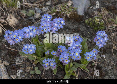 Alpine forget-me-not, Myosotis alpestris in flower in the Vanoise National Park, French Alps. - Stock Photo