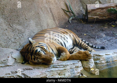 Malayan tiger (Panthera tigris jacksoni), San Diego Zoo, Balboa Park, California, United States. - Stock Photo