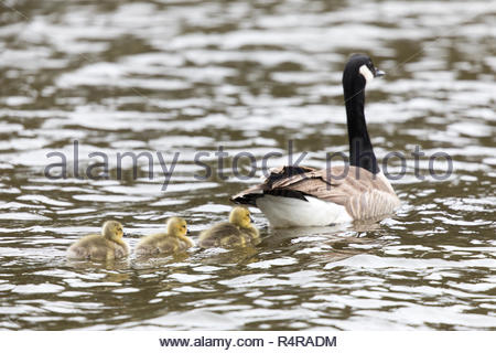Canada Goose with Goslings (Branta Canadensis) Wading in formation. - Stock Photo
