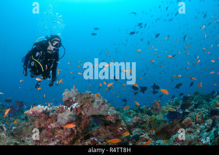 Female scuba diver swimming over coral reef and looking at a flock of brightly colored fish, Indian Ocean, Maldives - Stock Photo