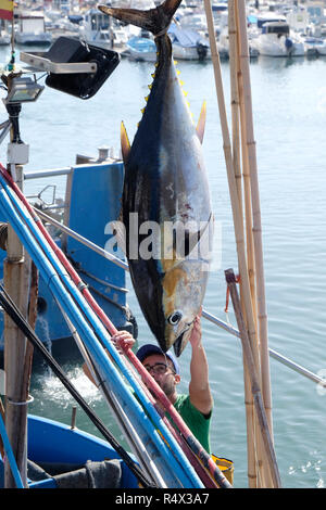 Bluefin Tuna being unloaded from a fishing boat in the port of Tazacorte, La Palma, Canary Islands. - Stock Photo