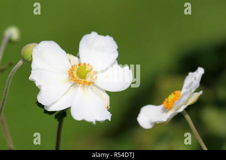 Japanese anemone or Anemone hupehensis or Thimbleweed or Windflower or Chinese anemone or Anemone hybrida flowering plant with flowers - Stock Photo