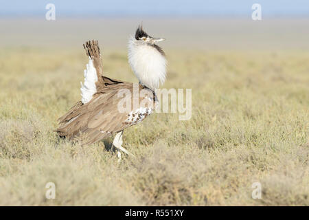 Kori Bustard (Ardeotis kori) male displaying on savannah, Ngorongoro conservation area, Tanzania. - Stock Photo