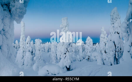 A forest of Tykkylumi spruce standing on a mountaintop near to Ruka in the deepening gloam. - Stock Photo