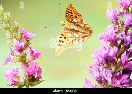 Queen of Spain fritillary (Issoria lathonia), in flight, on ordinary Purple loosestrife (Lythrum salicaria), Germany - Stock Photo