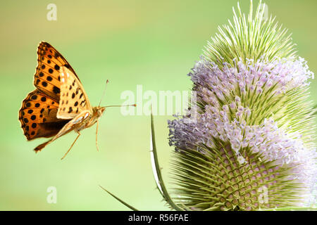 Queen of Spain fritillary (Issoria lathonia), in flight, on Wild teasel (Dipsacus fullonum), Germany - Stock Photo