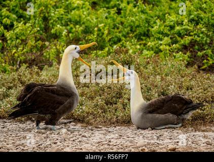 Waved albatross (Phoebastria irrorata), pair, Punta Suarez, Espanola or Hood Island, Galapagos, Ecuador - Stock Photo