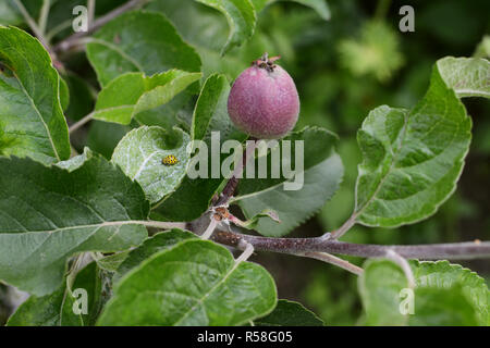 22-spot yellow ladybug on the leaf of an apple tree - Stock Photo