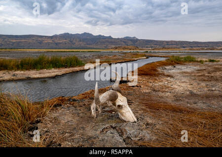 Wildebeest skull rests on the shores of Lake Natron in the Arusha region of Northern Tanzania and the East African Rift Valley - Stock Photo