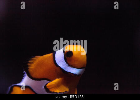 Clownfish, Amphiprioninae, in a marine fish - Stock Photo