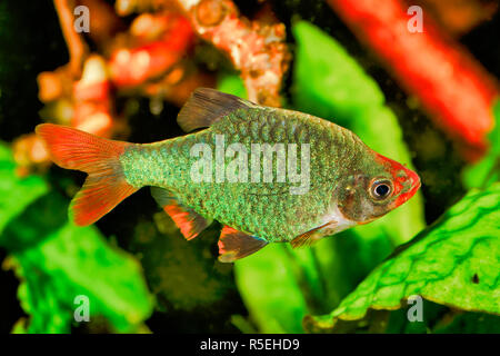 Portrait of aquarium fish - Sumatra barb (Puntigrus tetrazona) in a aquarium - Stock Photo