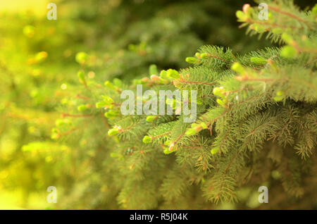 Natural organic spruce tree green brunches close up background - Stock Photo
