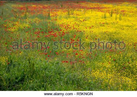 A field of spring flowers in Castiglione del Lago - Stock Photo