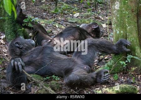 Chimpanzees at Kibale National Forest, Uganda - Stock Photo