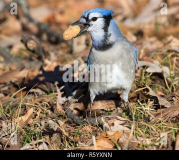 Blue jay (Cyanocitta cristata) with peanut in its beak, closeup, Iowa, USA - Stock Photo