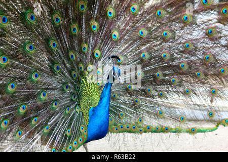 a vibrant peacock strutting - Stock Photo